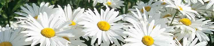 All About Marguerites